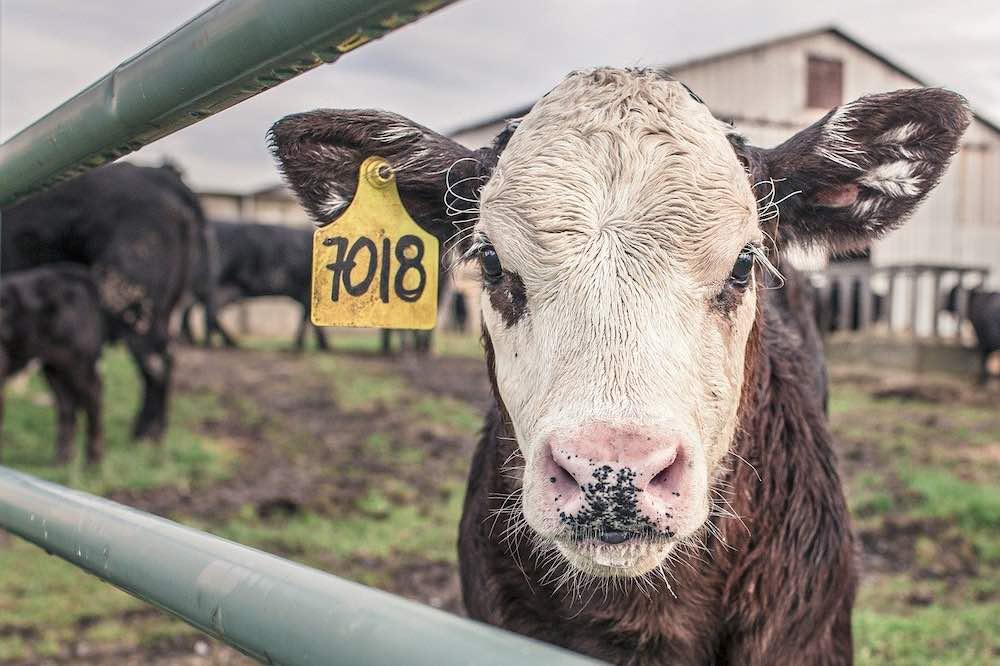 vache derrière une clôture électrique